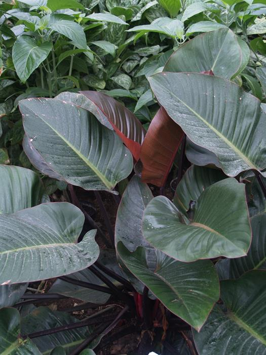 Philodendron%20Congo%20Red%20UK2012H%20184 Indoor House Plant Philodendron on indoor ivy house plants, indoor house plant cactus, indoor house plant diseases, indoor climbing plants, indoor house plant palm, indoor house plant fern,
