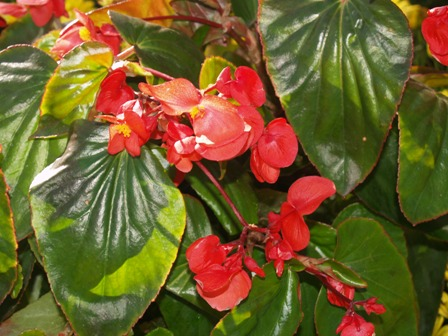 How To Grow Begonias Begonia And Tropical Plant Culture