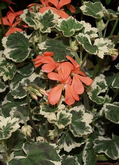 Pelargoniums distance learning course study geraniums online - Different types pelargoniums ...