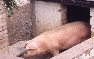 How to raise pigs | Pig Production online study