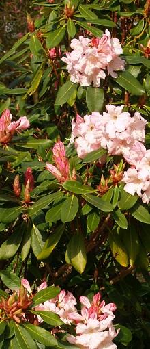 how to grow azaleas in australia